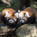 Two Red Panda Cubs Make Public Debut At Prospect Park Zoo